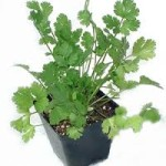 cilantro in pot