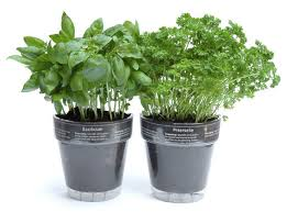 herbs in plastic pot