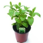 spearmint in pot